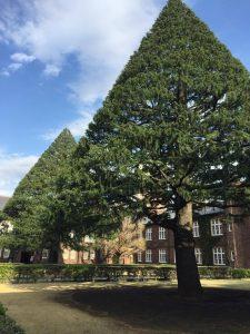 立教大学正門のヒマラヤ杉の写真